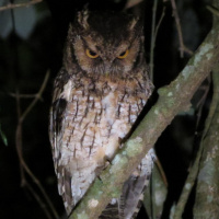 Long-tufted Screech Owl