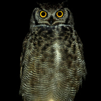 Magellanic Horned Owl
