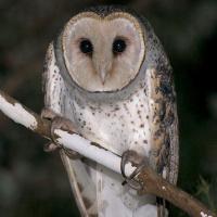 Australian Masked Owl (Tyto novaehollandiae) - Information ... - photo#42