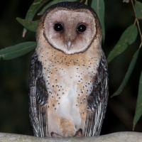 Australian Masked Owl (Tyto novaehollandiae) - Information ... - photo#45