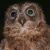 Mayotte Scops Owl