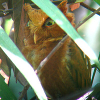 Mountain Scops Owl