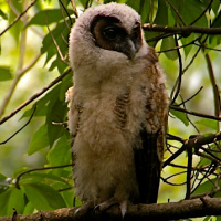 Mountain Wood Owl