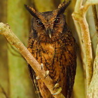 Northern Tawny-bellied Screech Owl