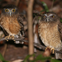 Ochre-bellied Hawk Owl