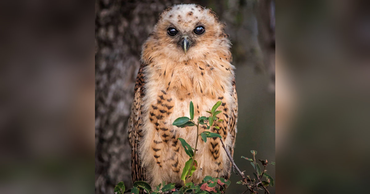 Pel's Fishing Owl (Bubo peli) juvenile - The Owl Pages 2017-06-26 07:12