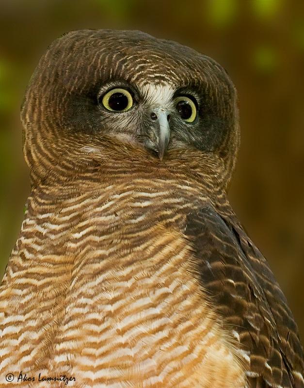 Rufous owl - photo#3