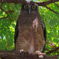 Rufous owl - photo#19