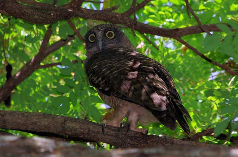 Rufous owl - photo#10