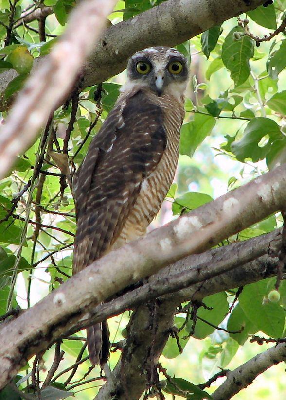 Rufous owl - photo#18