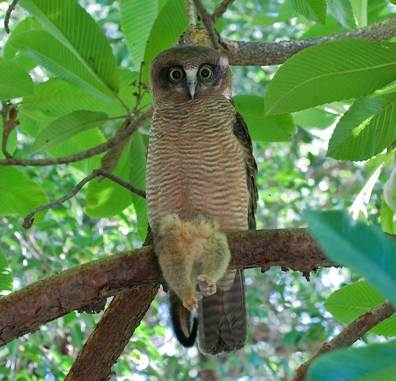 Rufous owl - photo#12