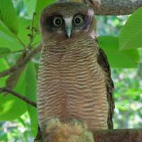 Rufous owl - photo#20