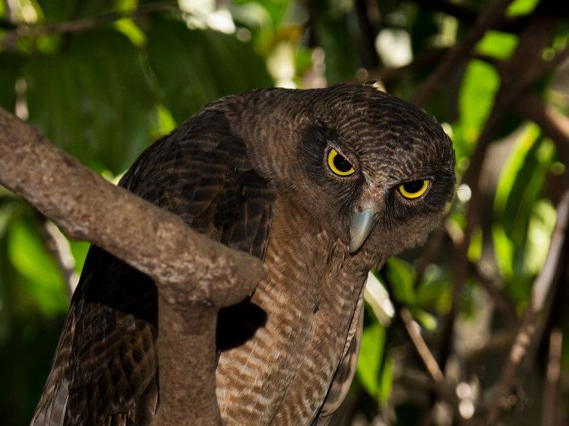 Rufous Owl (Ninox rufa) plotting some serious mischief.