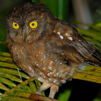 Simeulue Scops Owl Otus Umbra Information Pictures The Owl Pages