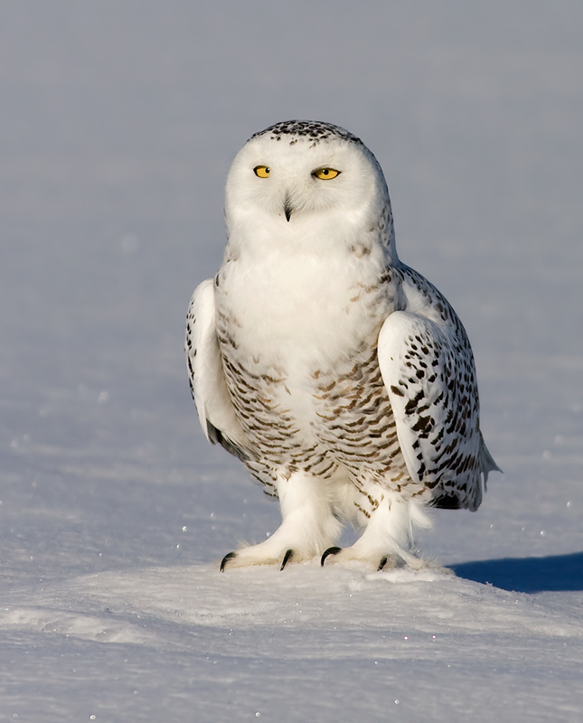 Snowy Owl Upgrade Snowy_owl_rachel_b-2