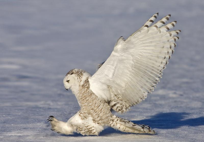 Snowy owl - Wikipedia