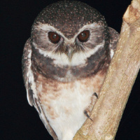 Speckled Hawk Owl