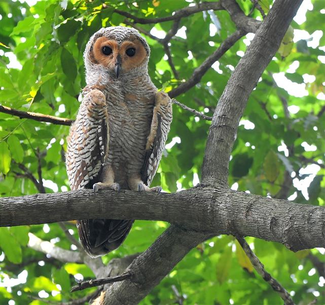 Spotted Wood Owl Strix Seloputo Juvenile By Johnny Wee The Owl Pages