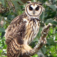 Striped Owl Asio Clamator Information Pictures Sounds The Owl Pages