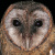 Owls of The World - The Owl Pages - photo#17