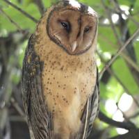 Tasmanian Masked Owl (Tyto castanops) - Information ... - photo#40
