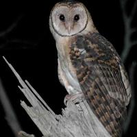 Tasmanian Masked Owl (Tyto castanops) - Information ... - photo#48