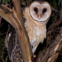 Tasmanian Masked Owl (Tyto castanops) - Information ... - photo#49