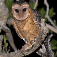 Tasmanian Masked Owl (Tyto castanops) - Information ... - photo#47