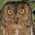 Wallace's Scops Owl