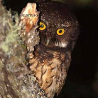 White-throated Screech Owl
